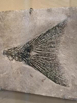 Fossil, Fish, Mioplasus Labracoides