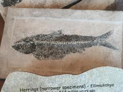 Fossil, Fish Herring Ellimichthys Or Perch Priscacara