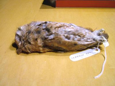 Mounted Study Skin, Screech Owl, Red Phase
