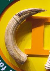 Carved Hippopotamus Tusk