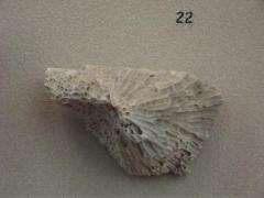 Fossil, Tabulate Coral Favosites
