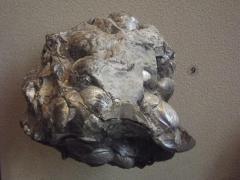 Fossil, Bivalves Inoceramus