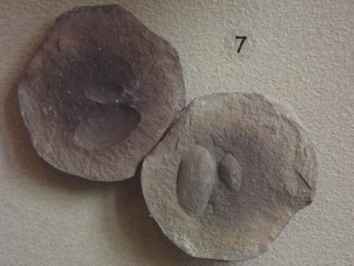 Fossil, Bivalves Clams