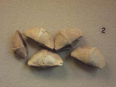 Fossil, Brachiopods Spirifer Verrucosa (5)