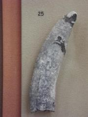 Fossil, Sperm Whale Tooth Physeteridae