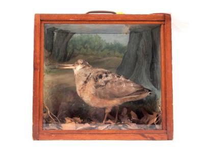 Woodcock, American, School Loan Collection