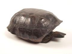 Desert Tortoise, Carapace & Plasteron