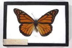 Butterfly, Danaus plexippus
