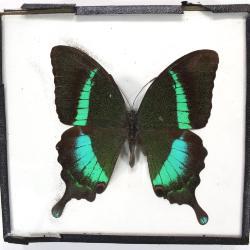 Butterfly, Papilio palinurus