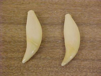 Black Bear Teeth, Canine, 2, Ursus Americanus
