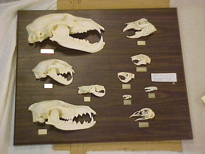 Skull Predator/prey Plaque, Bear, Bobcat, Coyote, Mink, Rabbit,  Squirrel, Gopher, Mouse, Mole, Pheasant