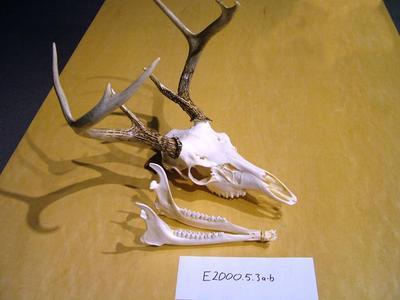 Deer, Whitetail Skull With Antlers Odocoileus Virginianus