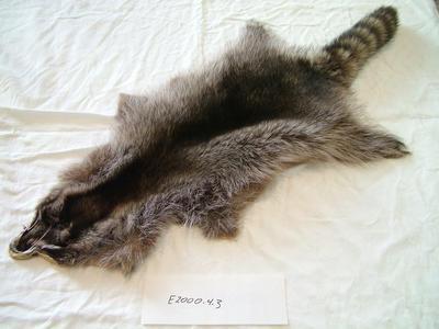 Raccoon Procyon Lotor Pelt
