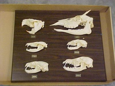 Skull Comparative Plaque, Deer, Beaver, Oppossum, Raccoon, Badger, Coyote