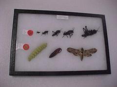 Grasshopper, Moth Metamorphosis Set: Romalea Microptera & Manduca  Sexta