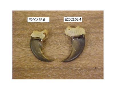 Black Bear Claws, Front, 2, Ursus Americanus