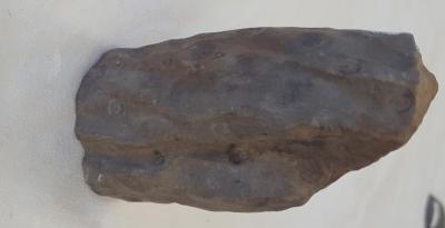 Stigmaria, root-like structure
