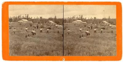 Stereoview, Working In Harvest