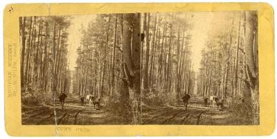 Stereoview, Road Through The Pinery