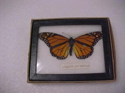 Monarch Butterfly, Riker Mount