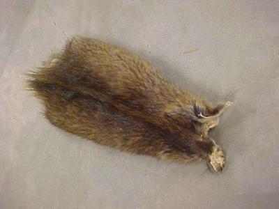 Animal Study Skin, Juvenile, Possibly A Beaver