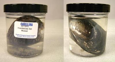 Preserved Specimen Invertebrate Set, Mussel