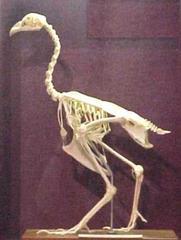 Chicken Skeleton